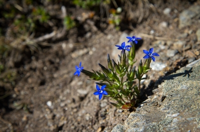Close-up picture of the flower Fjällgentiana in Swedish Lapland.