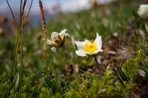 The Fjällsippa flower flourishing in Swedish Lapland.
