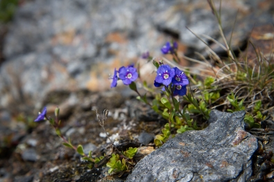 The Klippveronika flower flourishing in Swedish Lapland.