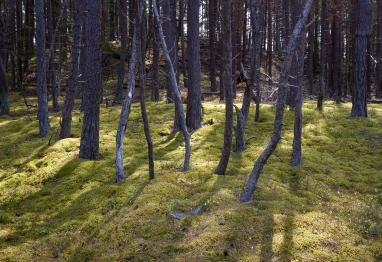 Solen skiner genom en samling torra tallar på Gotska Sandön
