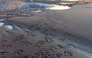 Spår av sjöfågel i sanden på Tärnskär