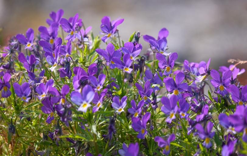 Styvmorsviol i Stockholms skärgård