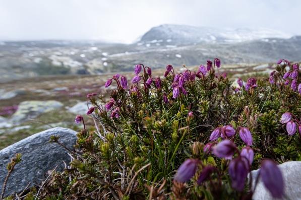 Blommor i Rondane nationalpark, Norge