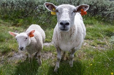 Två får i Rondane nationalpark, Norge