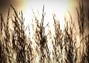 Vajande gräs i gyllene motljus