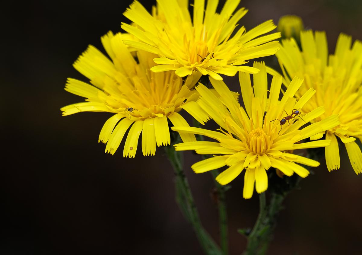 Yellow flockfibbla flower