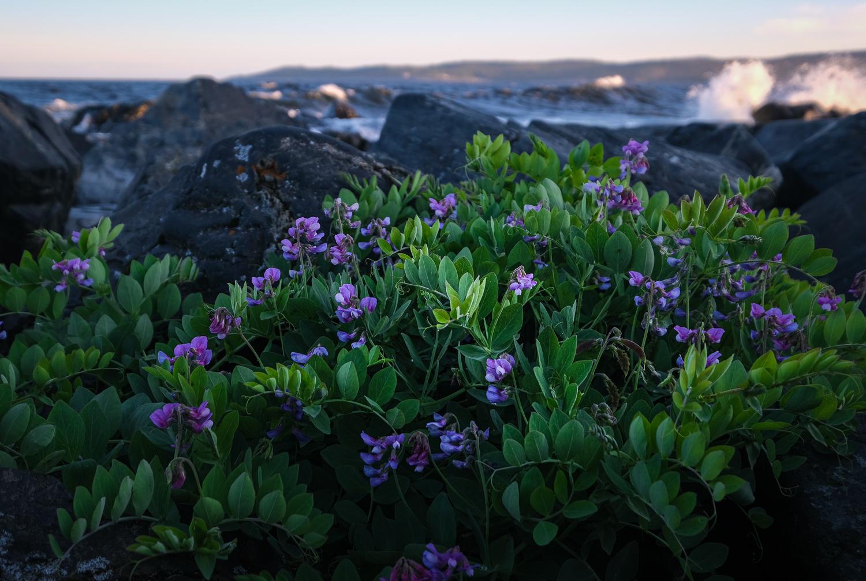Vildblommor på Lungön, Höga kusten